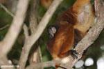 Baby black lemur on its mother's back