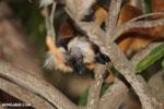 Female black lemur [madagascar_nosy_komba_0164]