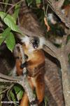 Female black lemur [madagascar_nosy_komba_0166]