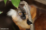 Female black lemur [madagascar_nosy_komba_0167]