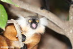 Female black lemur [madagascar_nosy_komba_0169]