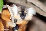 Female black lemur [madagascar_nosy_komba_0170]