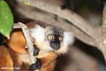 Female black lemur [madagascar_nosy_komba_0172]
