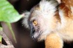 Female black lemur [madagascar_nosy_komba_0174]