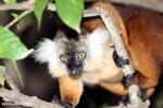 Female black lemur [madagascar_nosy_komba_0175]