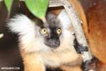 Female black lemur [madagascar_nosy_komba_0178]