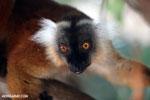 Female black lemur [madagascar_nosy_komba_0182]