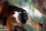 Female black lemur [madagascar_nosy_komba_0183]