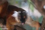 Female black lemur [madagascar_nosy_komba_0185]