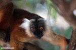 Female black lemur [madagascar_nosy_komba_0186]