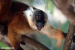 Female black lemur [madagascar_nosy_komba_0189]