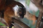 Female black lemur [madagascar_nosy_komba_0190]