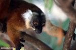 Female black lemur [madagascar_nosy_komba_0191]