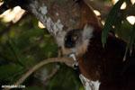 Female black lemur [madagascar_nosy_komba_0201]