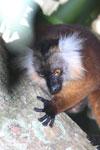 Female black lemur [madagascar_nosy_komba_0203]