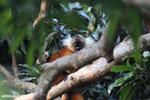 Female black lemur [madagascar_nosy_komba_0207]