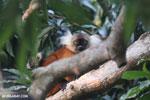 Female black lemur [madagascar_nosy_komba_0208]