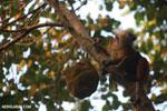 Female black lemur attempting to eat a jackfruit