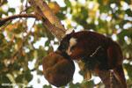 Female black lemur attempting to eat a jackfruit [madagascar_nosy_komba_0211]