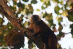Female black lemur [madagascar_nosy_komba_0213]