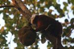 Female black lemur attempting to eat a jackfruit [madagascar_nosy_komba_0217]