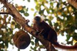 Female black lemur [madagascar_nosy_komba_0219]
