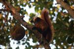 Female black lemur [madagascar_nosy_komba_0221]