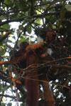 Group of black lemurs [madagascar_nosy_komba_0225]