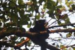 Male black lemur [madagascar_nosy_komba_0227]