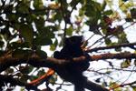 Male black lemur [madagascar_nosy_komba_0228]