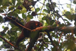 Male black lemur [madagascar_nosy_komba_0230]