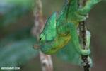 Parson's chameleon [madagascar_perinet_0044]