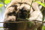 Baby common brown lemur (Eulemur fulvus) [madagascar_perinet_0085]