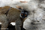 Common brown lemur (Eulemur fulvus) with a baby on its belly