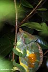 Parson's chameleon [madagascar_perinet_0164]