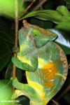 Parson's chameleon [madagascar_perinet_0168]