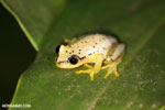 Heterixalus punctatus frog