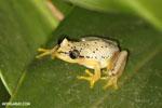 Heterixalus punctatus frog in Madagascar