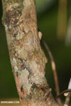 Mossy leaf-tail gecko