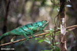 Parson's chameleon [madagascar_perinet_0205]