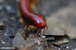 Madagascar Fire Millipede (Aphistogoniulus sp) [madagascar_perinet_0374]