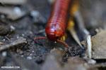 Madagascar Fire Millipede (Aphistogoniulus sp) [madagascar_perinet_0378]