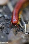 Madagascar Fire Millipede (Aphistogoniulus sp) [madagascar_perinet_0380]