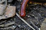Madagascar Fire Millipede (Aphistogoniulus sp) [madagascar_perinet_0381]