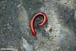 Madagascar Fire Millipede (Aphistogoniulus sp) [madagascar_perinet_0386]