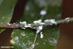 Malagasy flatid bug (Phromnia rosea) in its nymph stage [madagascar_perinet_0397]