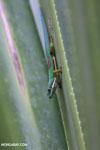 Lined Day Gecko (Phelsuma lineata chloroscelis) [madagascar_perinet_0468]