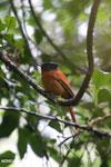 Female Madagascar paradise flycatcher [madagascar_perinet_0497]
