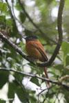 Female Madagascar paradise flycatcher [madagascar_perinet_0500]