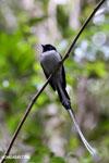 Male Madagascar paradise flycatcher [madagascar_perinet_0511]